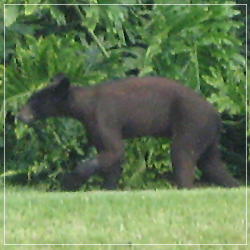 Bear sighted in Weston