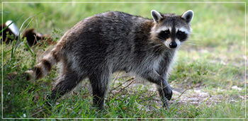 Raccoon sighted in Weston